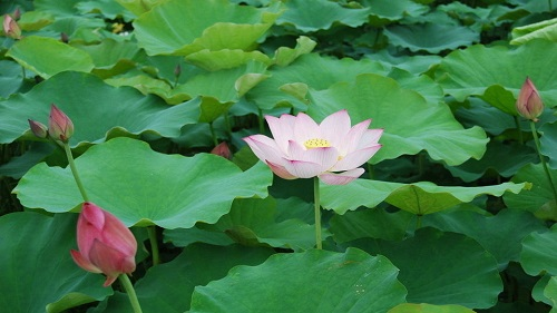 Learn Famous Poem:My Love on Lotus